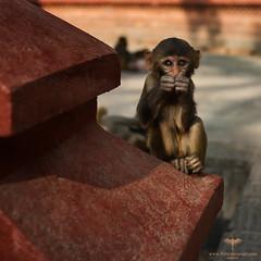 Asia / Nepal / Kathmandu / Swayambhunath (Pablo A. Ferrari) Tags: pabloferrariart nepal asia kathmandu architecture historical unesco temple swayambhunath stupa swoyambhu buddhism monkey templo history historicalplace animal monkeys monos monkeytemple