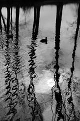 Winter reflections (wim.schaut) Tags: waas lokeren eau europa water boom belgië waes belgique flandre flandres winter waterkant bomen tree flanders landvanwaas hiver arbre waasland paysdewaes belgium europe vlaanderen oostvlaanderen