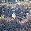Lone observer - DSC_3121 (nokhum.markushevich) Tags: bird shoreline localpark