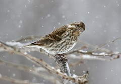 Snowy Day (Diane Marshman) Tags: finch small songbird brown tan white streaked breast chest head wings tail feathers winter season northeast pa pennsylvania nature wildlife tree branch snowing