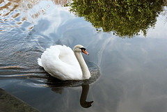 Swan. (Country Girl 76) Tags: canal leeds liverpool swan gliding reflections ripples skipton north yorkshire