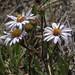 mountain meadow aster, Symphyotrichum spathulatum var. spathulatum