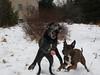 Josh's backup (Hodgey) Tags: dogs josh lab ralph boxerx ball missed backup maine winter snow