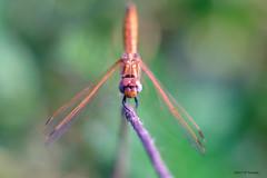 Libellule (jpto_55) Tags: insecte odonate libellule macro bokeh xe1 fuji fujifilm omlens om85mmf2 hautegaronne france