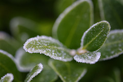 Crystaliced (Alfred Grupstra) Tags: nature leaf plant greencolor drop freshness dew closeup macro wet growth raindrop rain springtime water backgrounds summer environment nopeople botany buxus