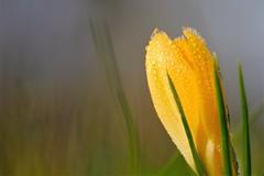 Spring is coming soon (peeteninge) Tags: yellow crocus grass nature spring drops waterdrops frozen krokus geel bloem flower natuur druppels water fujifilm fujifilmxt2