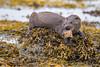 Eurasian Otter - Lutra lutra (coopsphotomad) Tags: otter mammal sea mustalid predator seaweed shore rock fish canon mull