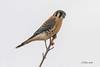 IMG_6842 american krestral (starc283) Tags: krestal americankrestal bird birding birds nature naturesfinest wildlife outdoors outdoor starc283 canon canon7d raptor flicker flickr