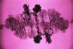 Pink ink. (von8itchfisk) Tags: lensmask film splitzer 35mm ishootfilm lomography lomochromepurple trees doubleexposure vonbitchfisk purple pink olympus om10 noedit incamera