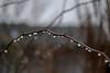 Regentropfen wie eine Perlenkette an einem Rosenzweig - Raindrops like a string of pearls on a rose twig (riesebusch) Tags: berlin garten marzahn