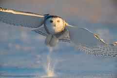 a puff of snow (Earl Reinink) Tags: owl raptor predator bird animal flying wings eyes outside cold winter snow landscape earl reinink earlreinink nikon snowyowl hzddrdadza