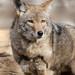 Coyote 8