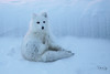 Nap-time in the Shade (Dan King Alaskan Photography) Tags: arcticfox fox vulpeslagopus deadhorse alaska white winter wildlife snow canon50d sigma150600mm