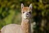 Alpaca cream_w_4452 (Daly Wildlife) Tags: gaggenau badenwürttemberg germany de andes ruminant relatedllamas waterrepelent luxurious shear naturalfibre fleece southamerica wool southamerican domesticated alpaca vicugnapacos