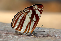 Neptis soma - the Cream-spotted Sailor (BugsAlive) Tags: butterfly mariposa papillon farfalla schmetterling бабочка conbướm ผีเสื้อ animal outdoor insects insect lepidoptera macro nature nymphalidae neptissoma creamspottedsailor limenitidinae wildlife chiangdaons chiangmai liveinsects thailand thailandbutterflies ผีเสื้อกะลาสีจุดครีม bugsalive เชียงใหม่ เชียงดาว
