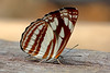 Neptis soma - the Cream-spotted Sailor (BugsAlive) Tags: butterfly mariposa papillon farfalla schmetterling бабочка conbướm ผีเสื้อ animal outdoor insects insect lepidoptera macro nature nymphalidae neptissoma creamspottedsailor limenitidinae wildlife chiangdaons chiangmai liveinsects thailand thailandbutterflies ผีเสื้อกะลาสีจุดครีม bugsalive เชียงใหม่ เชียงดาว