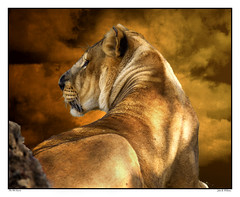 Lioness ~ Right of Passage, a story (Johnrw1491) Tags: story lion wildlife tarzan wild dogs boyhood lioness africa adventure animals big cats