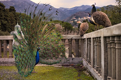 Power of Love (Cristian Degl'Innocenti) Tags: peacock pavone amazing love real color nature natural genoa genove life animal animale free wildlife italy europe great stunning power shot canon 6d fullframe bird ritual 50mm