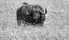 Contentment (AnyMotion) Tags: africanbuffalo afrikanischerbüffel synceruscaffer oxpecker madenhacker bird vogel grass bokeh 2018 anymotion morukopjes serengetinationalpark tanzania tansania africa afrika travel reisen animal animals tiere nature natur wildlife 7d2 canoneos7dmarkii bw blackandwhite sw