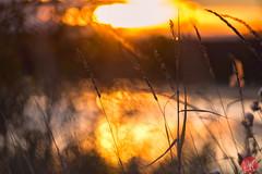 Exploring (Kasia Sokulska (KasiaBasic)) Tags: canada alberta fall nature macro abstract grass