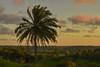 Árvore (Luis Soquetti) Tags: árvore vegetação natureza paisagem vegetal jardim ajardinar verde planta cenário palma palmeira tropical pôrdosol escurecer entardecer sunset ocaso aurora nascer do sol nascente poente crepúsculo
