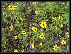 Dune sunflower (Helianthus debilis) (cquintin) Tags: plantae tracheobionta magnoliophyta magnoliopsida asteridae asterales asteraceae helianthus debilis sunflower