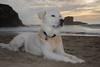 Blue on Cooks Beach - Nikon D750 - AFS Nikkor 28-300mm 1:3.5-5.6G VR (divewizard) Tags: nikond750 nikon d750 dslr fx afsnikkor28300mm13556g afs nikkor 28300mm 13556g vr f3556 zoomlens zoom lens 28300mmf3556gvr nikonspeedlightsb500 speedlight sb500 chrisgrossman handsomedog happydog portrait bigdog nikonsb500 goberian goldenhusky goldsky whitedog dog whitegoberian cooksbeach gualala mendocinocounty california beach sand rocks surf ocean water sea waves pacific pacificocean coast clouds seafoam cliff cove shore shoreline blue heterochromia sectoralheterochromia goldenretriever siberianhusky heterochromiairidis heterochromiairidum perro cão chien hund 犬 собака 狗 hond כלב الكلب σκύλοσ