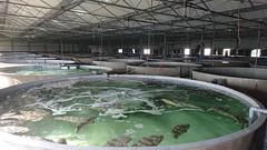 Aquaculture (December 2017) (UNNC Geographical Sciences) Tags: fenghua ningbo fishfarm reddart grouper
