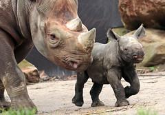 black rhino Blijdorp BB2A8694 (j.a.kok) Tags: rhino rhinoceros blackrhinoceros zwarteneushoorn neushoorn babyneushoorn neushoornkalf rhinocalf calf kalf africa afrika animal blijdorp mammal zoogdier dier herbivore naima blijdorpzoo