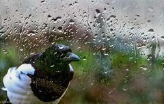 Pie à travers vitre un jour de pluie. (Crilion43) Tags: région véreaux feuillesfeuillage pluie centre pie cher animaux paysages villes