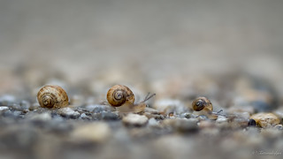 The snails that move in single file