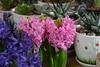 Гиацинт (Hyacinthus) (Vladimir Kuznetsov 61) Tags: гиацинт hyacinthus