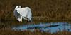 HaywardRegional_021018_253 (kwongphotography) Tags: hayward ca calif wildlife wildlifephotography nature naturephotography birds birdphotography greategret egret ornithology birdwatching birdlovers haywardregionalshoreline eastbayregionalparks birdsinflight unitedstates
