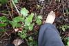 IMG_1267 (bfe2012) Tags: barefoot barefeet barefooting barefooted barefooter barefoothiking barefootlifestyle feet dirtyfeet toughsoles