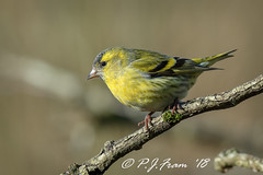 Siskin... (Rat_Salad (sorry if too busy to play for a while..) Tags: canon1dx canonef600mmf4isusml canon14xextenderiii parcslipnaturereserve eurasiansiskin europeansiskin commonsiskin siskin carduelisspinus spinusspinus