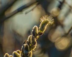 Golden Light. (Omygodtom) Tags: existinglight weather golden dof d7100 gold outside nikon70300mmvrlens senery scenic scene park flickr flower flora usgs ngs ngc spike buds macrodreams macro bokeh
