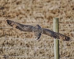 Divebomb (jbarc in BC) Tags: shortearedowl owl flight fly wings beak ladner delta boundarybay nature wildlife bird fence