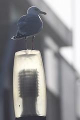 Zilvermeeuw - Larus argentatus argenteus - Herring Gull (merijnloeve) Tags: zilvermeeuw larus argentatus argenteus herring gull badstraat katwijk aan zee zuidholland nederland meeuw zilver silbermowe adult leiden