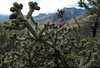 One Pink in the Pricklies (zoniedude1) Tags: arizona cactus cholla onepinkinthepricklies spiny canecholla cylindropuntiaimbricata cactaceae native flora walkingstickcholla treecholla cacti wildflower montezumapass 6640ftelevation usamexicoborder huachucamountains ontheborder mountainpass coronadonationalmemorial summer afternoon cochisecounty internationalborder southeastaz skyislands outdoors hiking exploration discovery closeup detail macro southwest nature canonpowershotg12 pspx9 zoniedude1 earthnaturelife explore