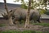 Chester Zoo (794) (rs1979) Tags: chesterzoo zoo chester blackrhino rhino