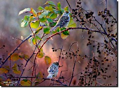 TWO SPARROWS AT SUNSET (jawadn_99) Tags: housesparrow sparrow cheeks bird species brown fauna explore grouptripod sparrows sunset sutherlin oregon usa
