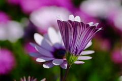 Primer plano (ameliapardo) Tags: flores floresyplantas macrodeflores margarita purpura fujixt1 sevilla andalucia españa jardines