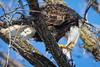 Breakfast is Served (jeff_a_goldberg) Tags: americanbaldeagle baldeagle wildlife winter nature bird haliaeetusleucocephalus eagle redwing minnesota unitedstates us