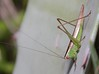 Orchelimum unispina (Saussure & Pictet, 1898) (carlos mancilla) Tags: insectos saltamontes chapulines grasshoppers orchelimumunispinasaussurepictet1898 orchelimumunispina arizonameadowkatydid tettigoniidae conocephalinae canoneos700d canoneosrebelt5i ef100mmf28macrousm