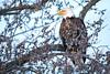 Frozen in Place (jeff_a_goldberg) Tags: americanbaldeagle baldeagle wildlife winter nature bird haliaeetusleucocephalus eagle redwing minnesota unitedstates us