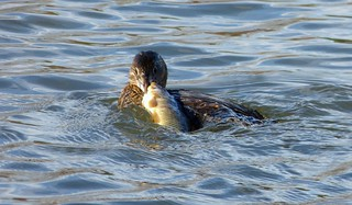 Pied-billed Grebe with Catch of the Day