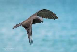 Brown Noddy Tern 500_3780.jpg