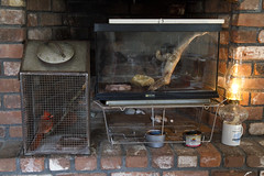 Animal Infirmary (brucetopher) Tags: cardinal bird red wild stormvictim released recovery healing concussion injured lizard anole critter crawl heat fireplace warmth warming flame fire heating pet hospital care caring help helping