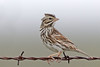 Savannah Sparrow (Alan Gutsell) Tags: bird birding alan southtexasbirds wildlife photo canon migration texas mexico rio grande savannah sparrow savannahsparrow emberizine