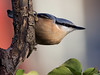 Nuthatch - Sitta europaea (normanwest4tography) Tags: nuthatch flight avian wings flying canon 7d2 sigma avain wild birds wildlife nature countryside songbirds farmland forest woodland hedgerow garden meadows wood bird tree canon7d2 sigma500f45 gardenbird songbird parklands